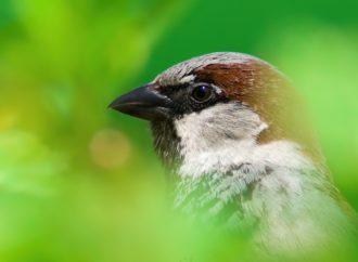 Burung Pipit Merusak Kebahagiaan Keluarga